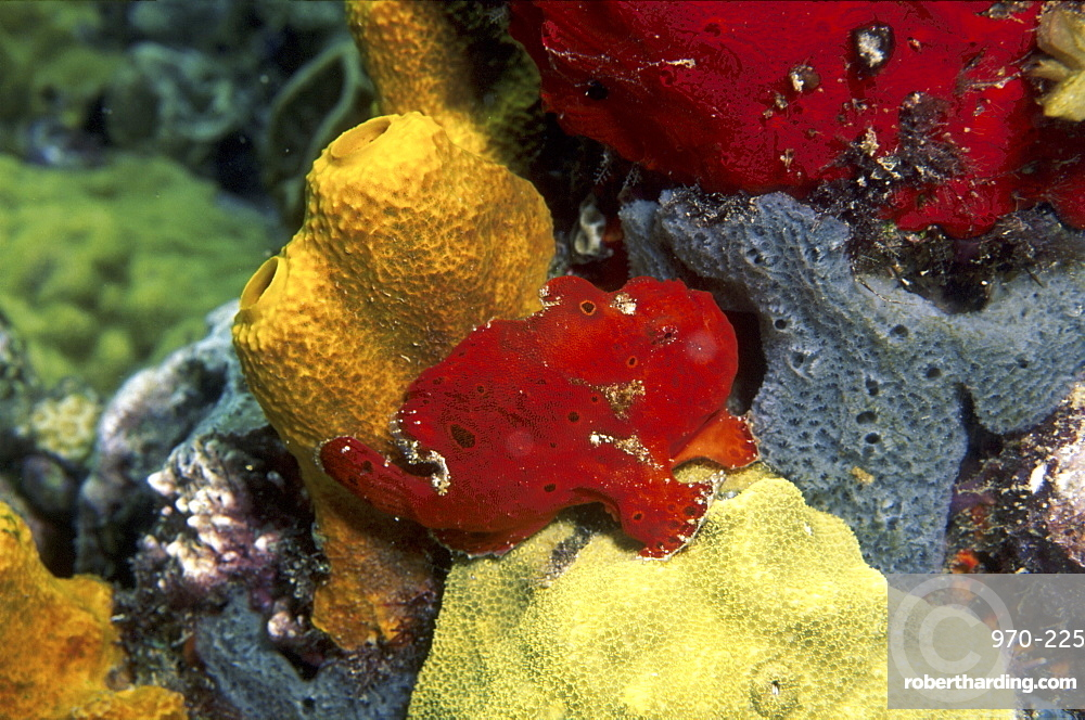 Longlure Frogfish (Antennarius multiocellatus), red in colour with superb camouflage against other sponges, Anse Chastanet, St Lucia, Caribbean