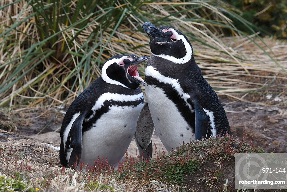Magellanic penguin (Spheniscus magellanicus) pair resting in coastal habitat, Gypsy Cove, Falkland Islands