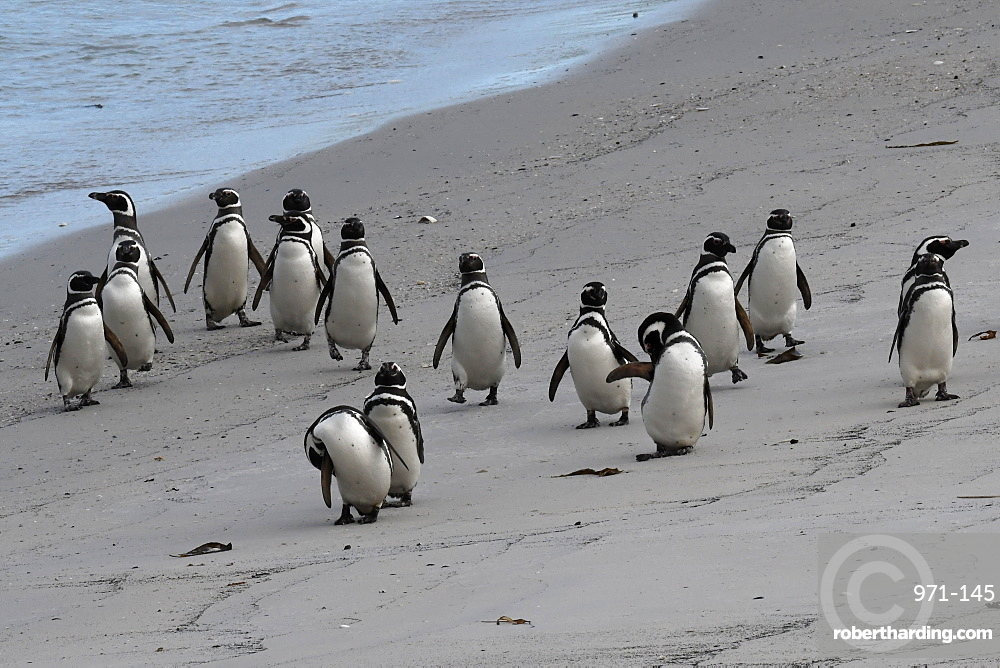 Magellanic penguins (Spheniscus magellanicus) marching along the beach, Gypsy Cove, Falkland Islands