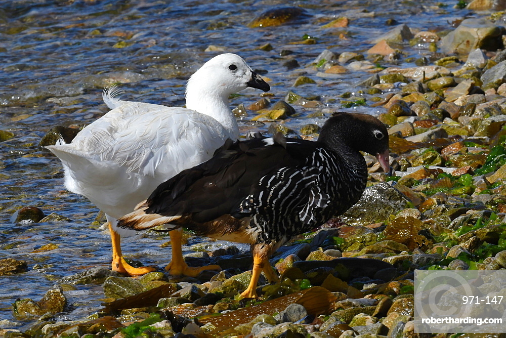 Male and female kelp goose (Chloephaga hybrida) foraging on a pebble beach along the water's edge, Falkland Islands