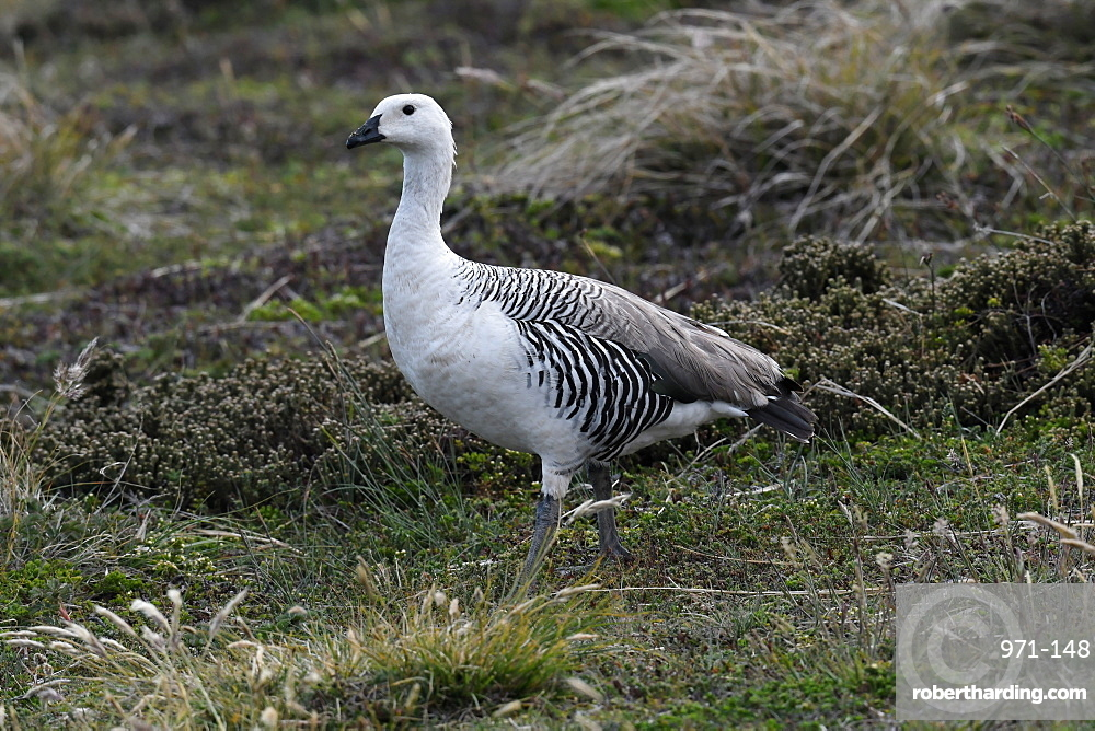 Male upland goose (Chloephaga picta) in its grassland habitat, Falkland Islands