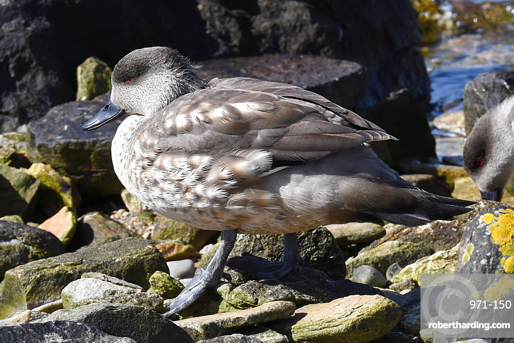 Patagonian crested duck (Lophonetta specularioides specularioides) on a stony beach, Falkland Islands