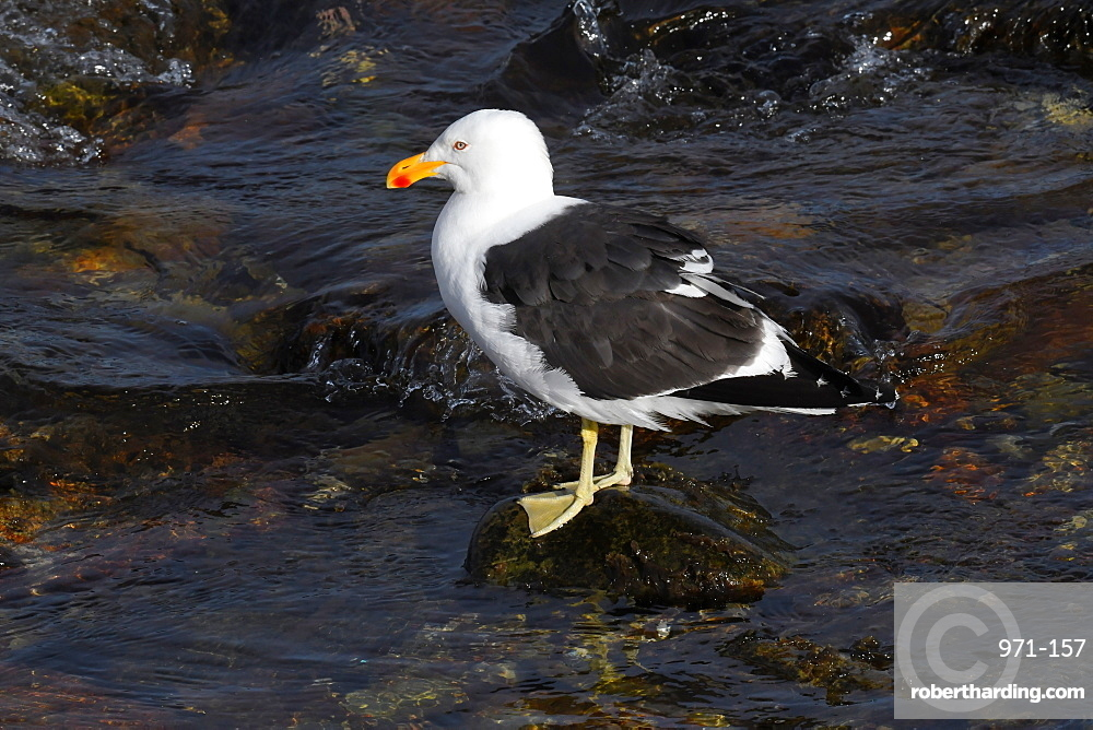 Kelp gull (Larus dominicanus) standing on a stone surrounded by water, Falkland Islands