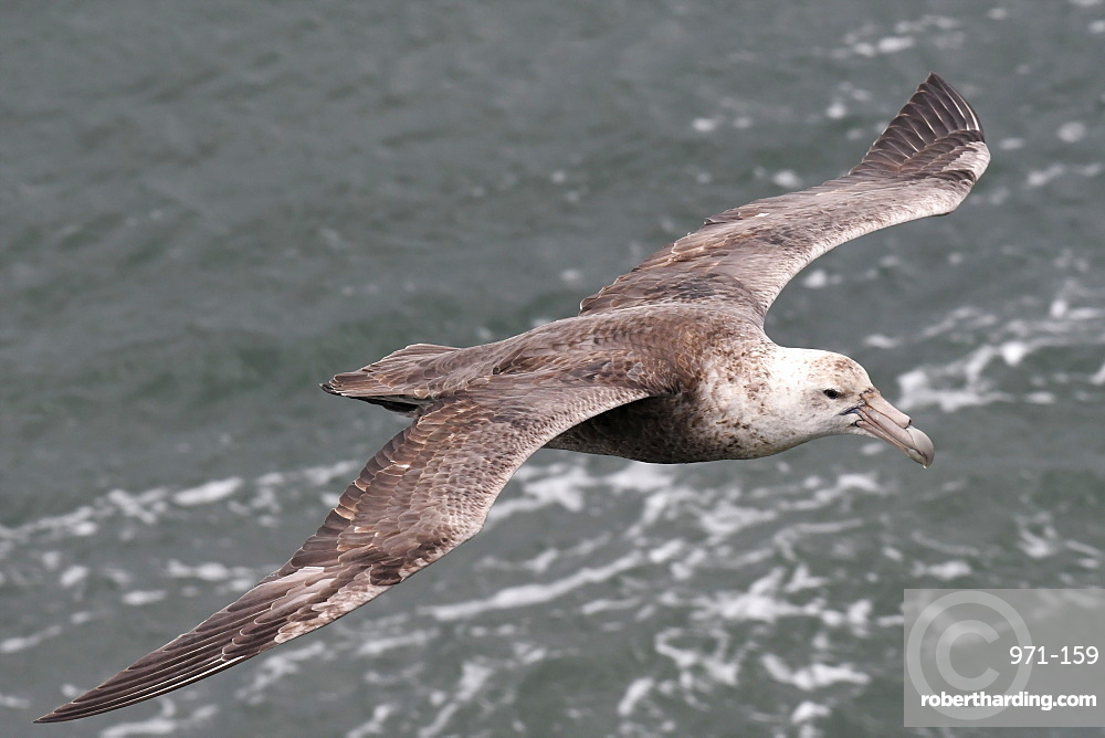 Southern giant petrel (Macronectes giganteus) flying low over the sea at Port William, Falkland Islands