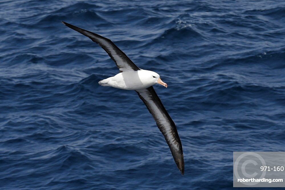 Black-browed albatross (Thalassarche melanophris) in flight low over the sea, showing full span of under wing, South Georgia