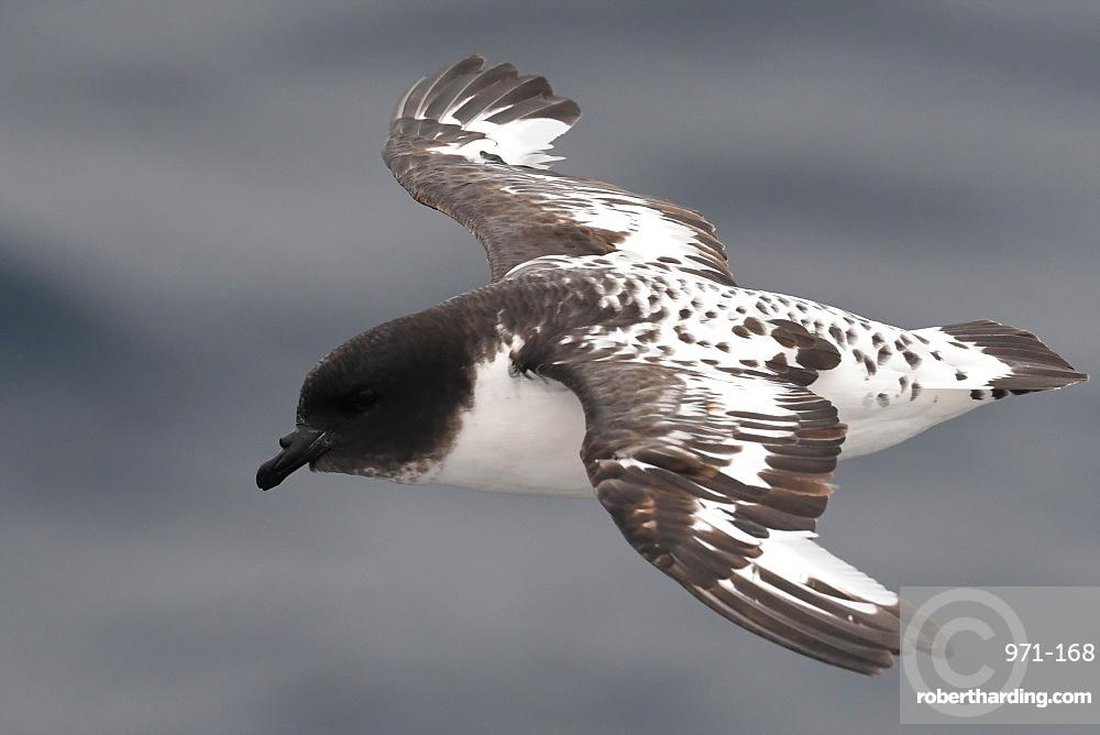 Close-up of a flying Cape petrel (Daption capense)