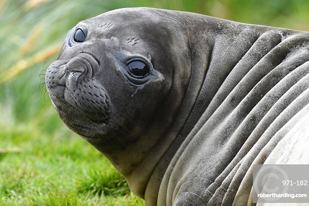 Close-up portrait of a large-eyed southern elephant seal (Mirounga leonina) pup, Grytviken, South Georgia
