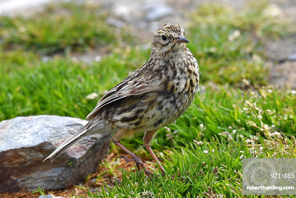 The endemic South Georgia pipit (Anthus antarcticus) is the island's only passerine, King Edward Point, South Georgia