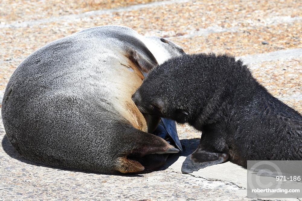 Antarctic fur seal (Arctocephalus gazella) pup suckling from its mother, King Edward Point, South Georgia