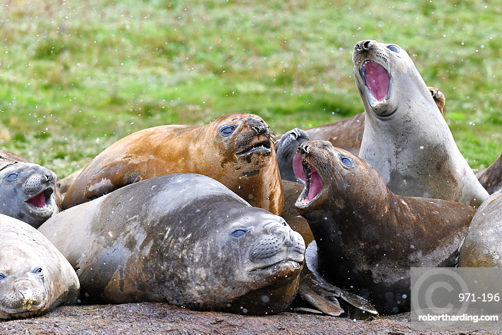 Agonistic behaviour in a tight group of moulting southern elephant seals (Mirounga leonina), Grytviken, South Georgia