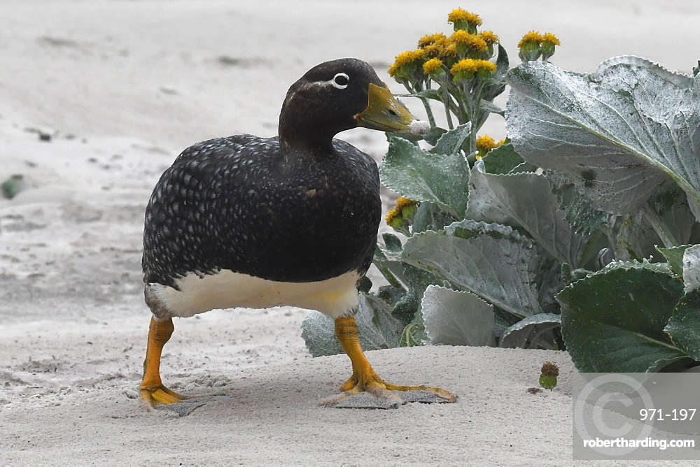 Female Falkland steamer duck (Tachyeres brachypterus) walking amongst vegetation on sandy beach, Falkland Islands