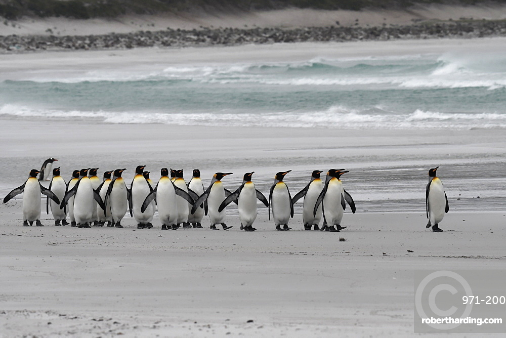The march of the king penguins (Aptenodytes patagonicus) along the beach against rough seas at Volunteer Point, Falkland Islands