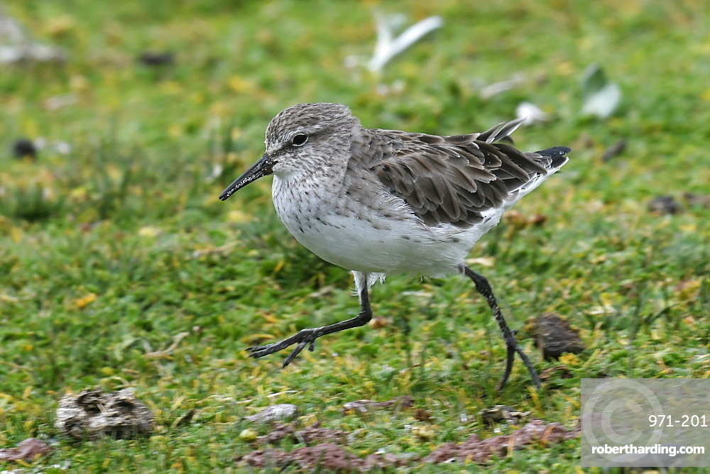 White-rumped sandpiper (Calidris fuscicollis), a long-distance migrant, foraging in grassland, Volunteer Point, Falkland Islands