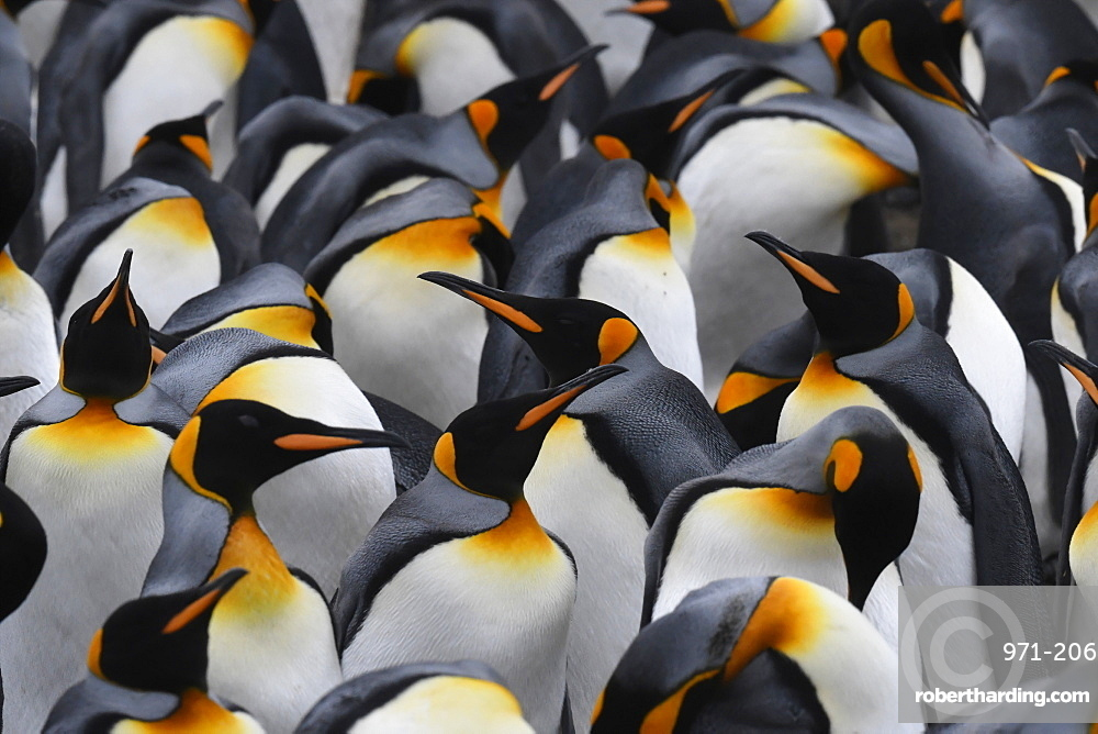 Close-up of a mass of king penguins (Aptenodytes patagonicus) in a tightly packed colony at Volunteer Point, Falkland Islands