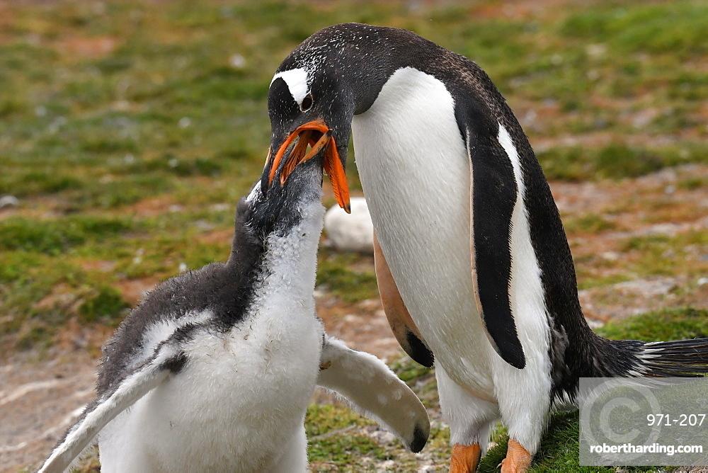 Gentoo penguin (Pygoscelis papua) feeding its chick, Volunteer Point, Falkland Islands