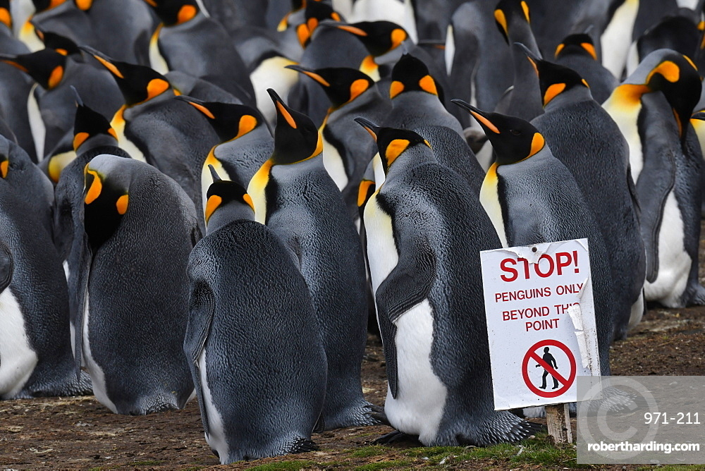 Warning sign to visitors delineating king penguin (Aptenodytes patagonicus) colony at Volunteer Point, Falkland Islands