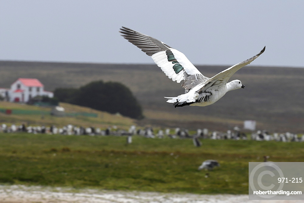 Male upland goose (Chloephaga picta) in flight in front of a penguin colony at Volunteer Point, Falkland Islands
