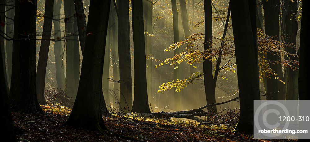 Common beech (Fagus sylvatica) trees, morning sunlight, autumn colour, King's Wood, Challock, Kent, England.