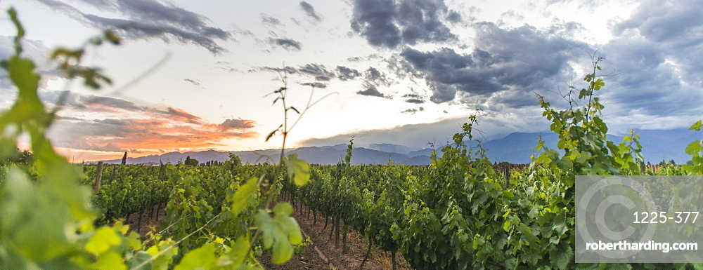 Malbec vineyards at the foot of the Andes in the Uco Valley near Mendoza, Argentina, South America