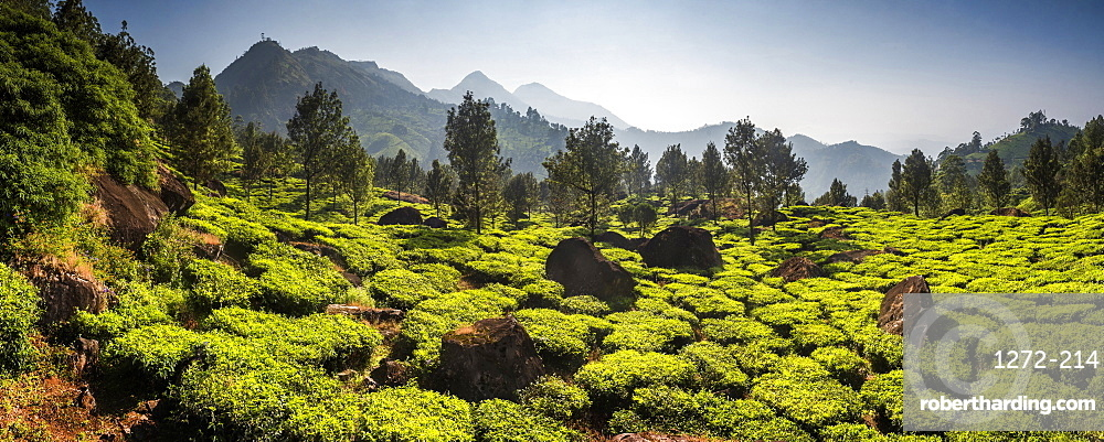 Tea plantations, Munnar, Western Ghats Mountains, Kerala, India, Asia