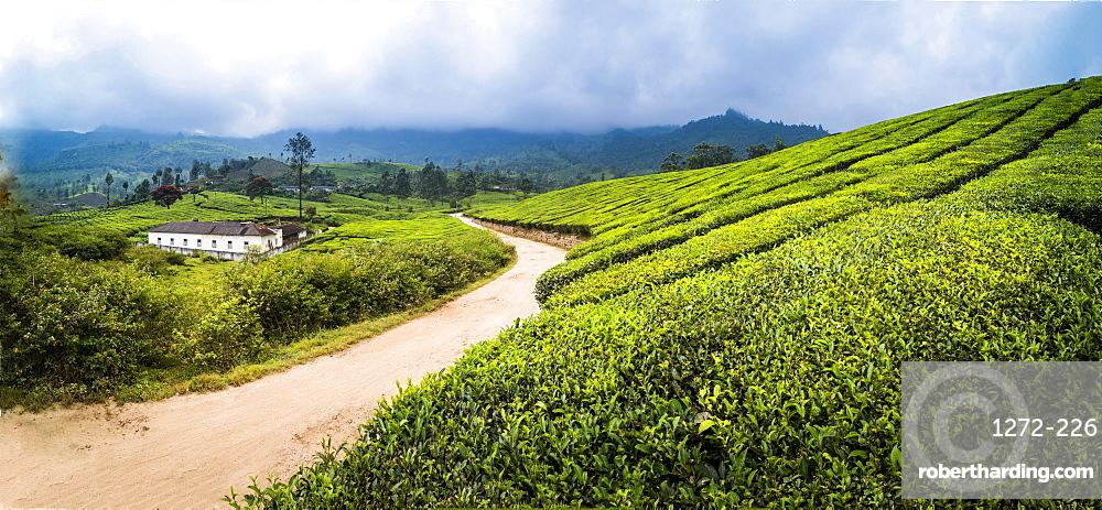 Tea plantations landscape near Munnar in the Western Ghats Mountains, Kerala, India, Asia