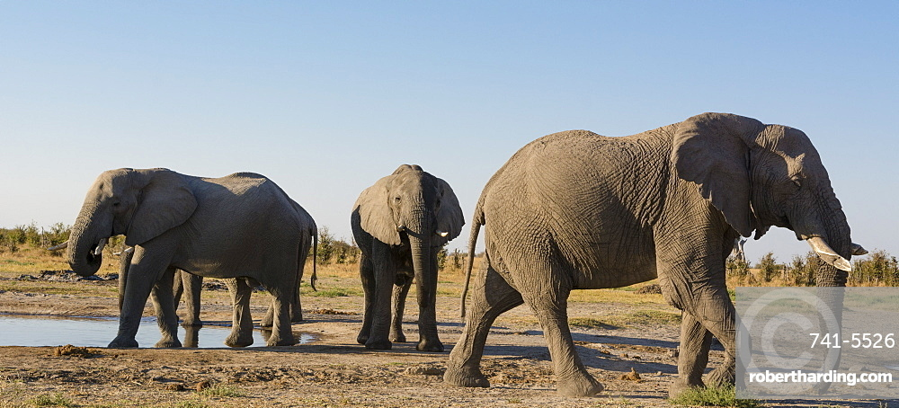 African elephants, Loxodonta africana, at waterhole.