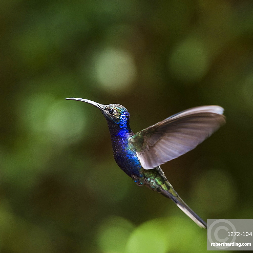 Hummingbird in the Monteverde Cloud Forest, Puntarenas Province, Costa Rica