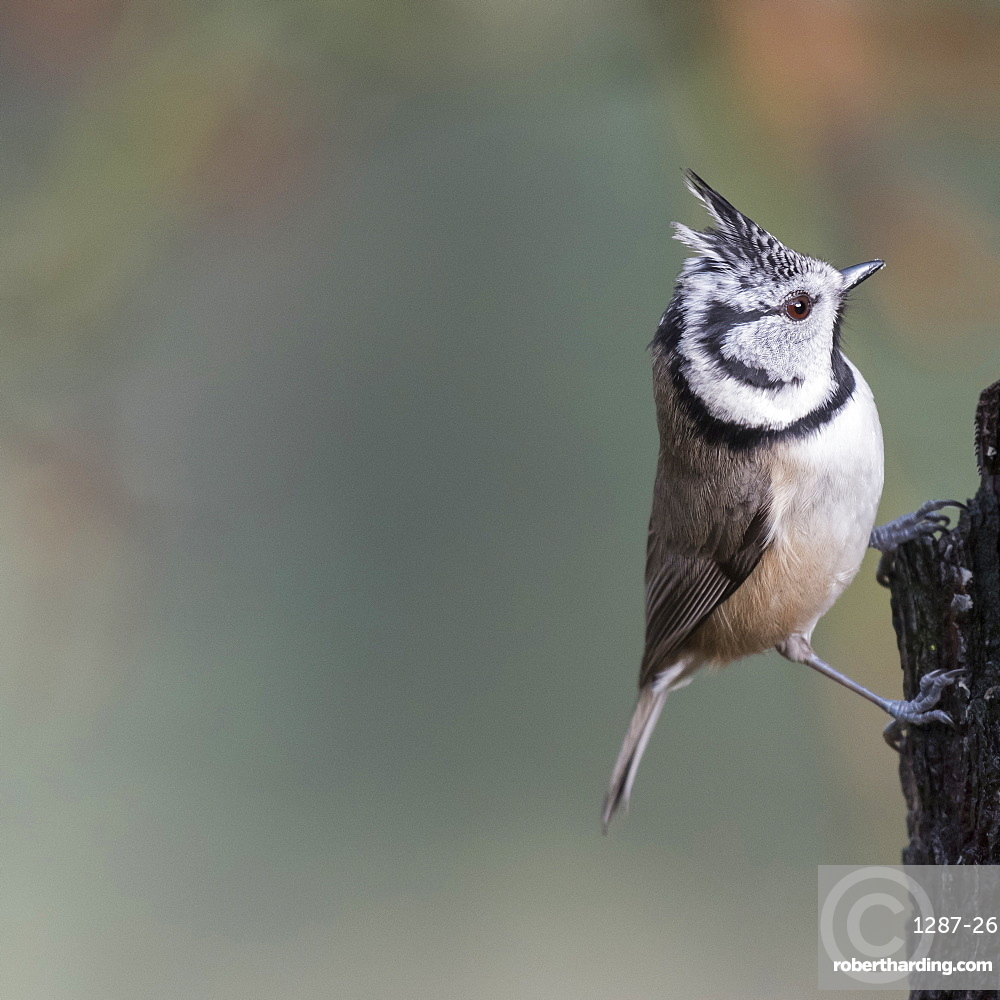 A Crested Tit in Abernethy Forest in Strathspey region of Scotland, United Kingdom, Europe
