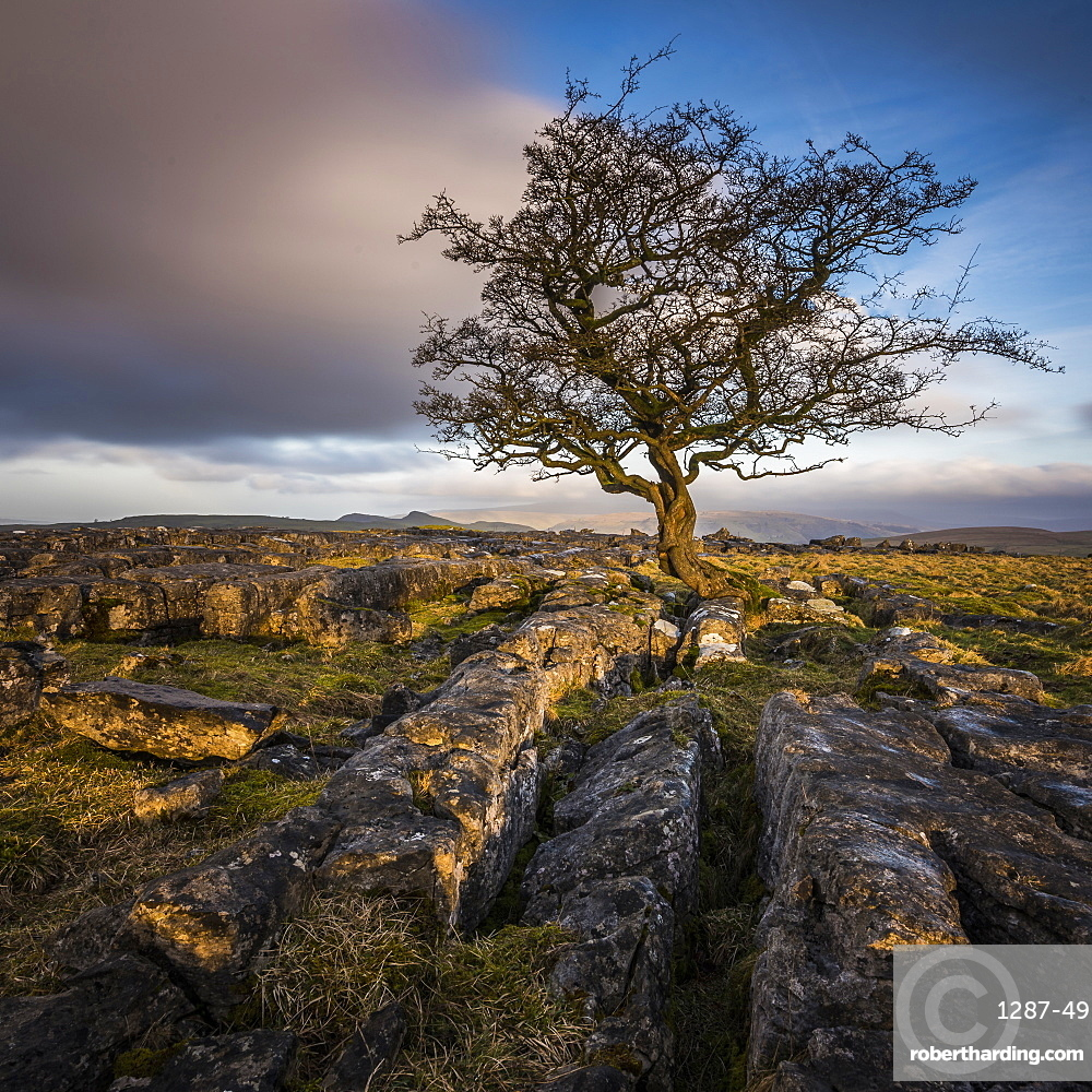 A lone weathered tree in amongst the limestone pavement of the Yorkshire Dales National Park