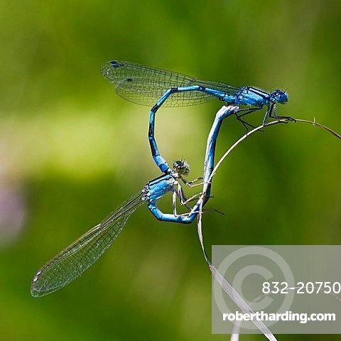 Azure Damselfly (Coenagrion puella) mating