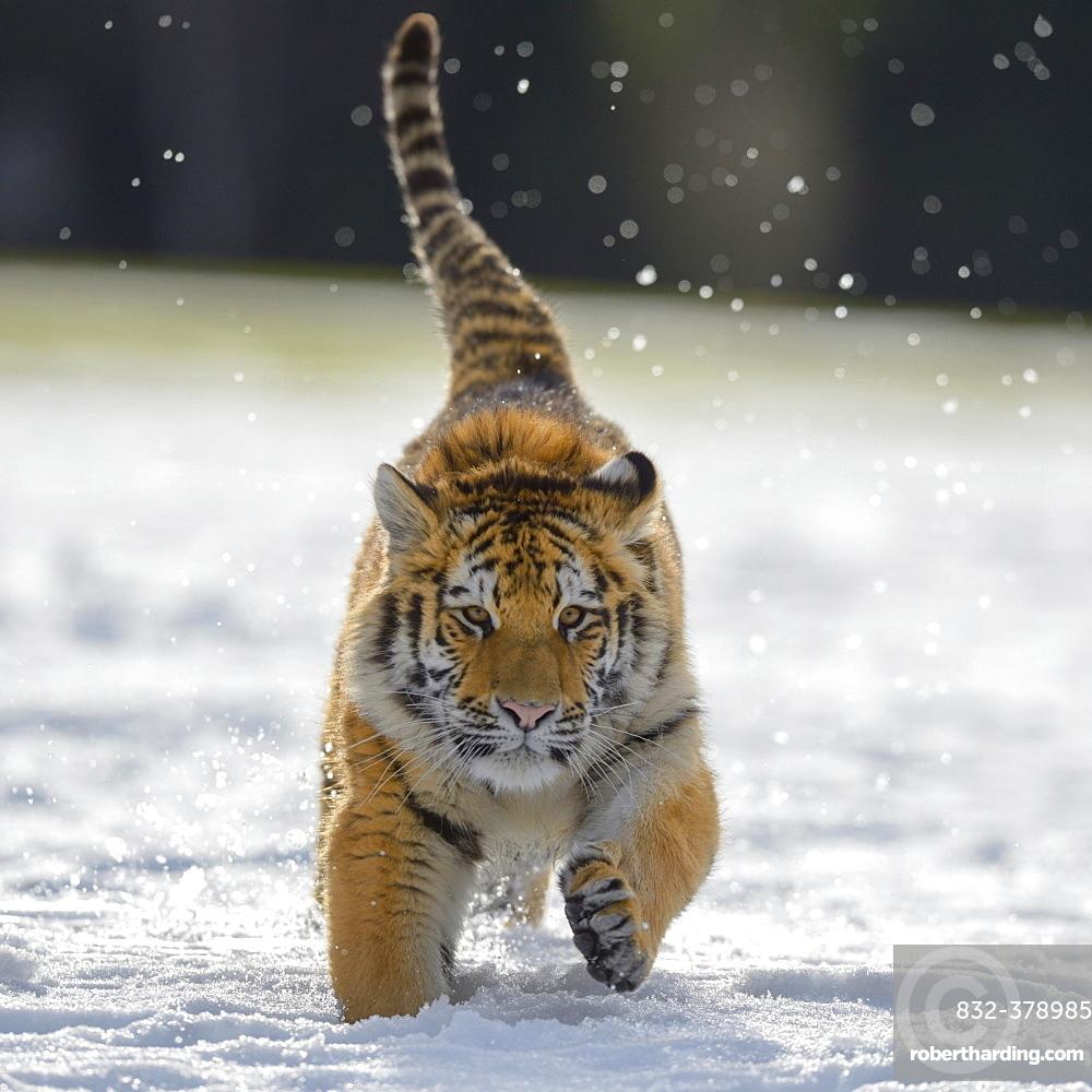 Siberian tiger (Panthera tigris altaica) juvenile running in snow, captive, Moravia, Czech Republic, Europe