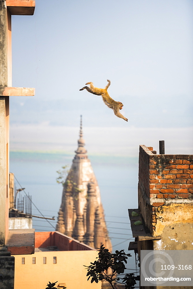Monkey, Varanasi, Uttar Pradesh, India, Asia