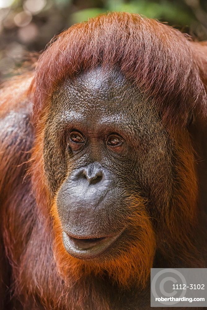 Reintroduced female orangutan (Pongo pygmaeus), Camp Leakey, Tanjung Puting National Park, Borneo, Indonesia, Southeast Asia, Asia