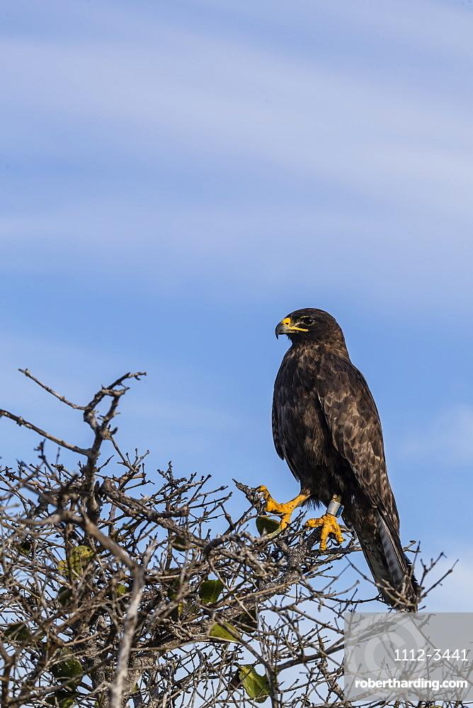 Adult Galapagos hawk (Buteo galapagoensis), Fernandina Island, Galapagos, Ecuador, South America