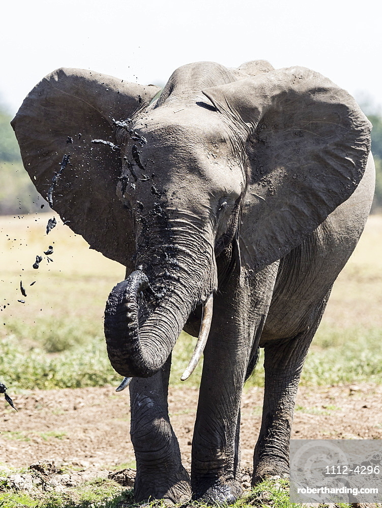 An African bush elephant, Loxodonta africana, at a watering hole in South Luangwa National Park, Zambia.