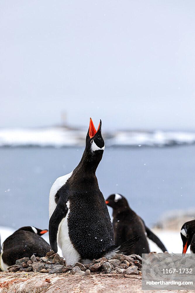 Gentoo penguin (Pygoscelis papua) calling, Damoy Point, Dorian Bay, Wiencke Island, Antarctic Peninsula, Antarctica, Polar Regions
