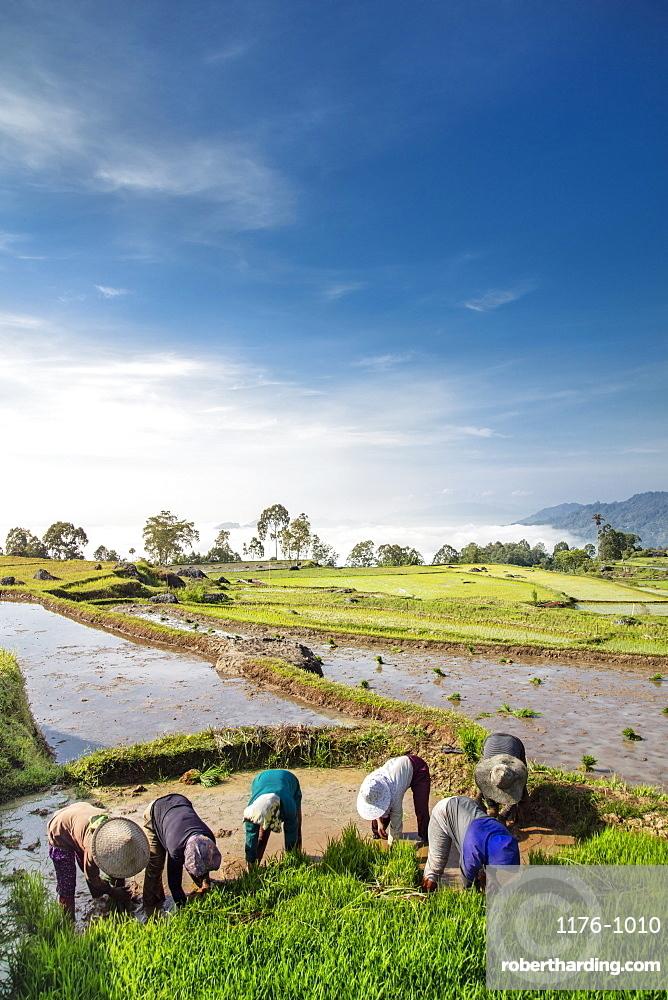 Rice farmers in rice paddy fields, Tana Toraja, Sulawesi, Indonesia, Southeast Asia, Asia