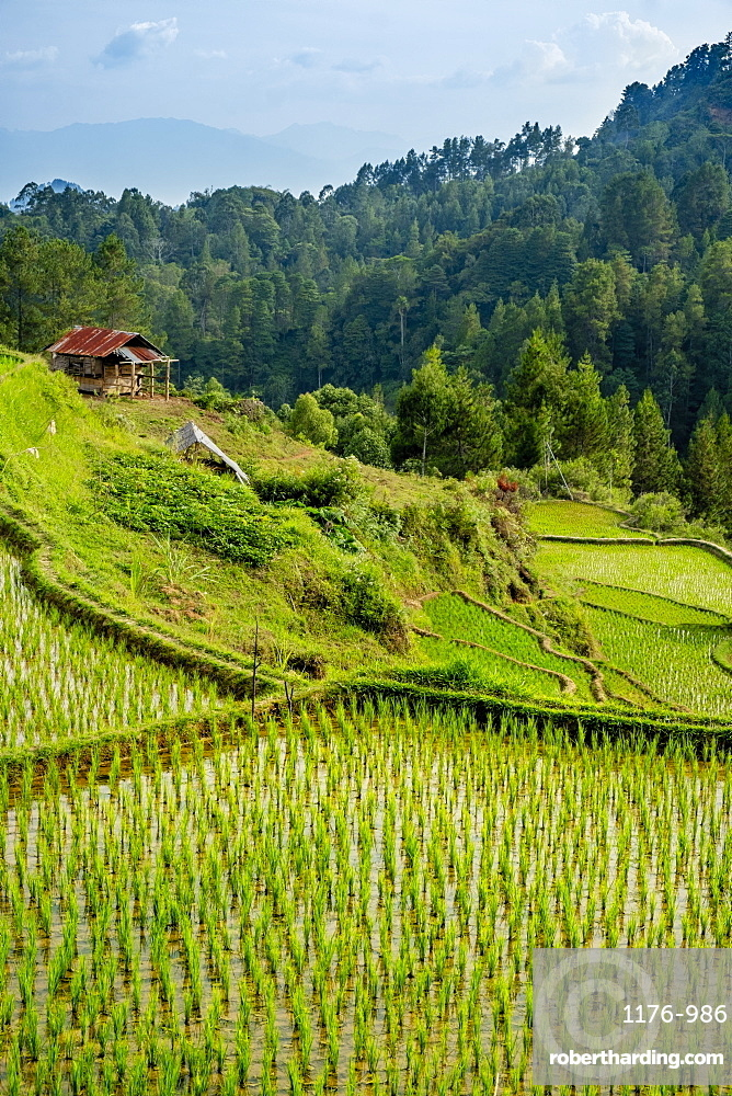 Rice paddy fields in the highlands, Tana Toraja, Sulawesi, Indonesia, Southeast Asia, Asia