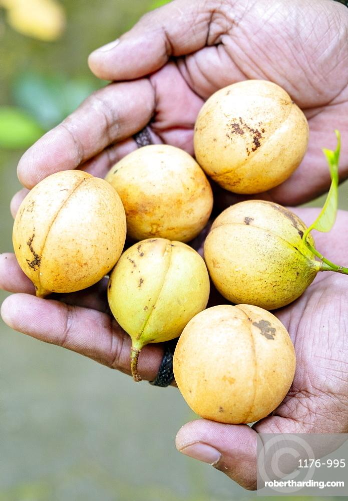 Nutmegs, Spice Islands, Moluccas (Maluku), Indonesia, Southeast Asia, Asia