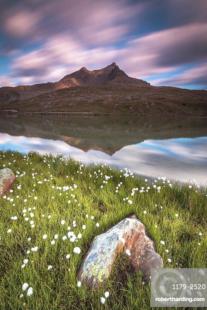 Cotton grass on the shore of Lago Bianco, Gavia Pass, Valfurva, Valtellina, Lombardy, Italy, Europe