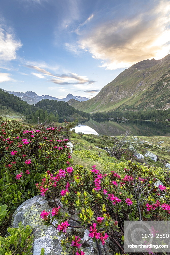 Rhododendrons at Lake Cavloc at sunrise, Maloja Pass, Bregaglia Valley, Engadine, Canton of Graubunden, Switzerland, Europe