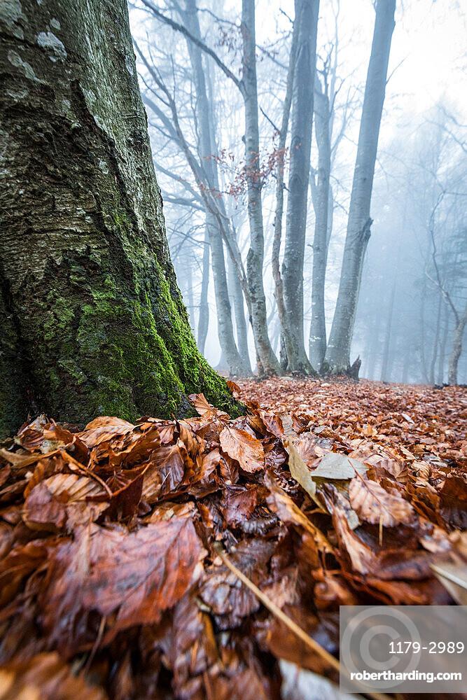 Foliage of autumn, Parco della Grigna, province of Lecco, Lombardy, Italy, Europe