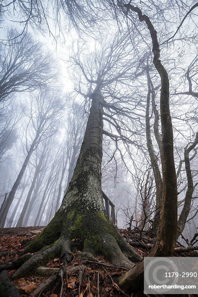 Trees in the mist, Parco della Grigna, province of Lecco, Lombardy, Italy, Europe