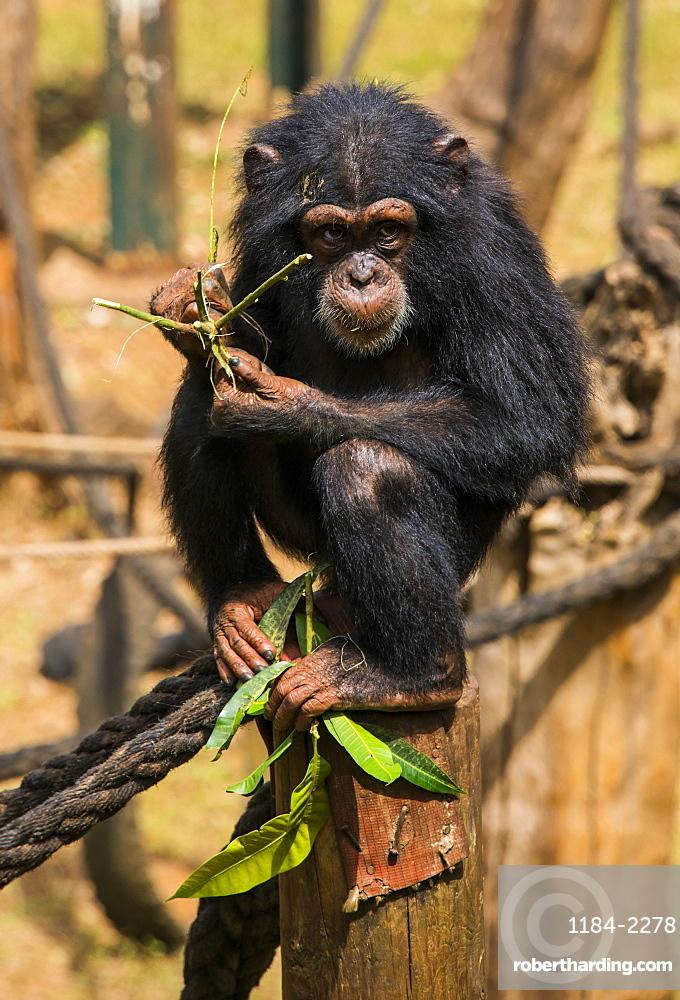 Chimpanzee orphan in the Tacugama Chimpanzee Sanctuary, Sierra Leone