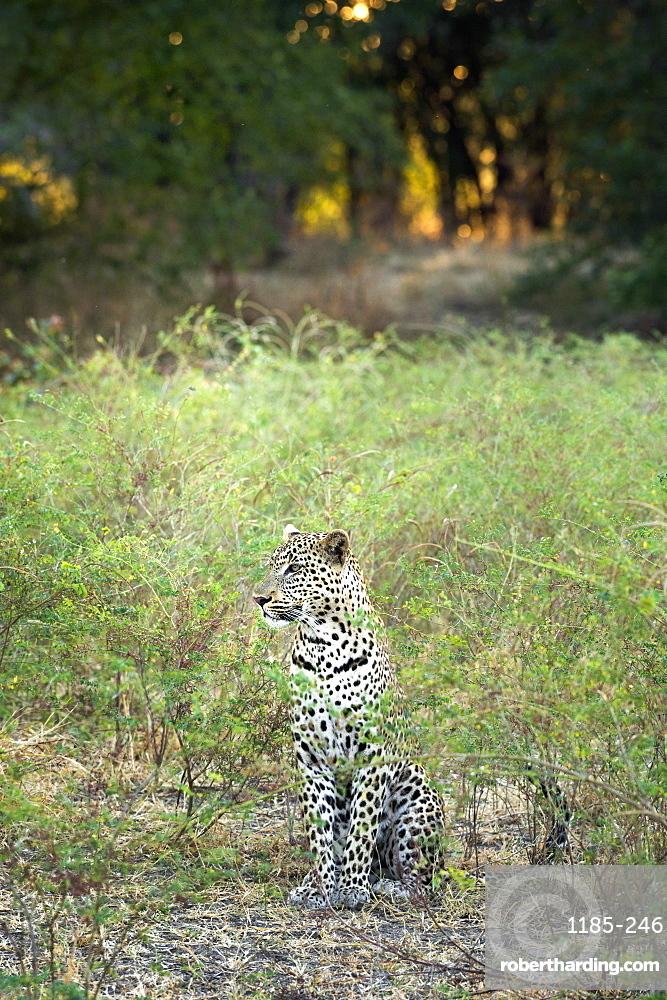 Leopard (Panthera Pardus), Zambia, Africa