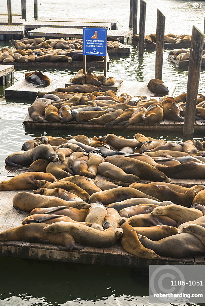 Seals at Pier 39, San Francisco, California, United States of America, North America