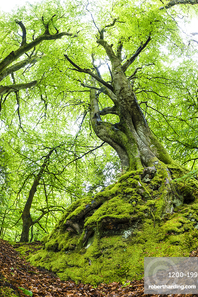 Common beech (Fagus sylvatica) tree in spring, Exmoor National Park, North Devon, England, United Kingdom, Europe