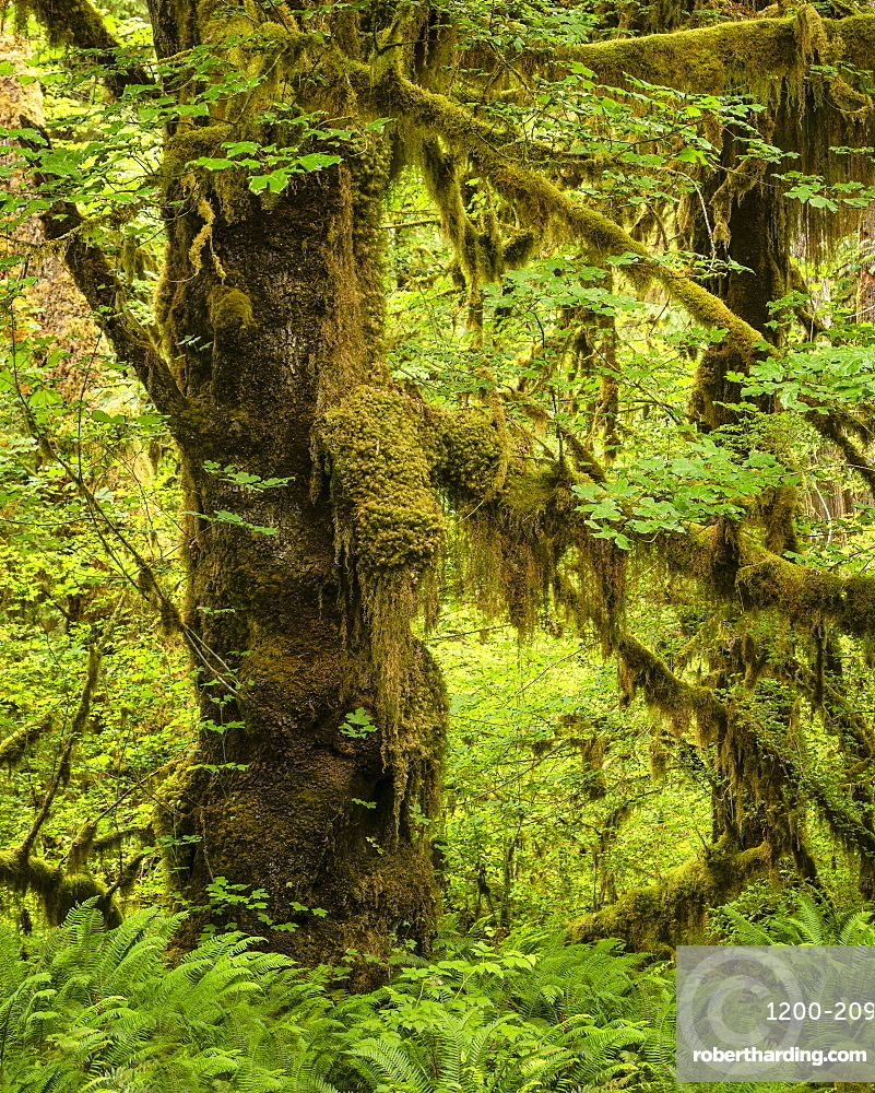 Hoh Rainforest, Olympic National Park, Washington, United States.
