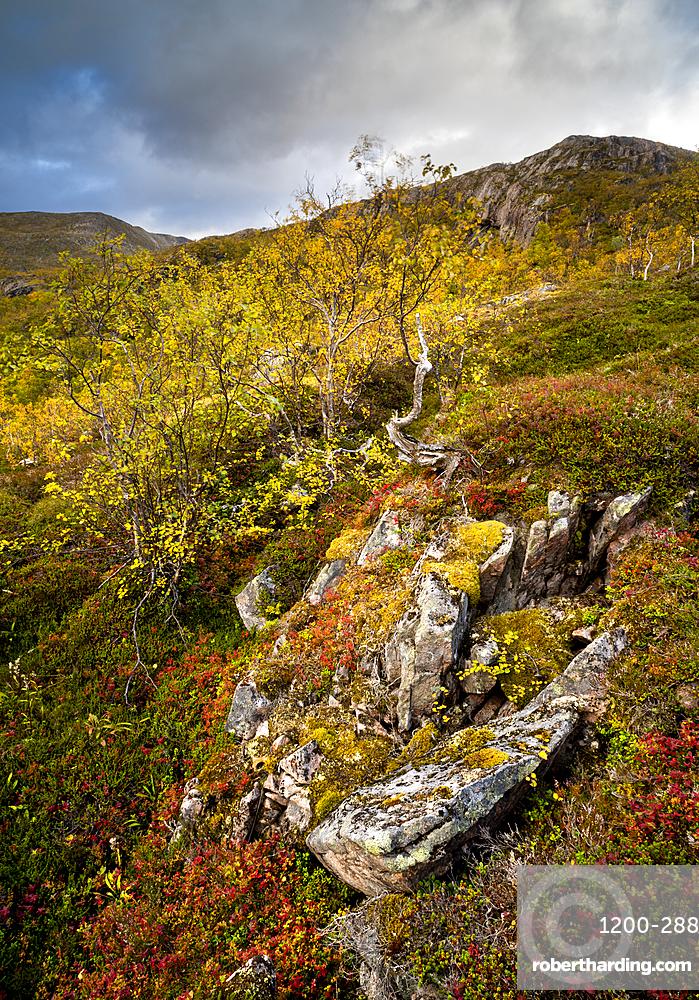 Autumn colour in Anderdalen National Park, Senja, Norway, Scandinavia, Europe