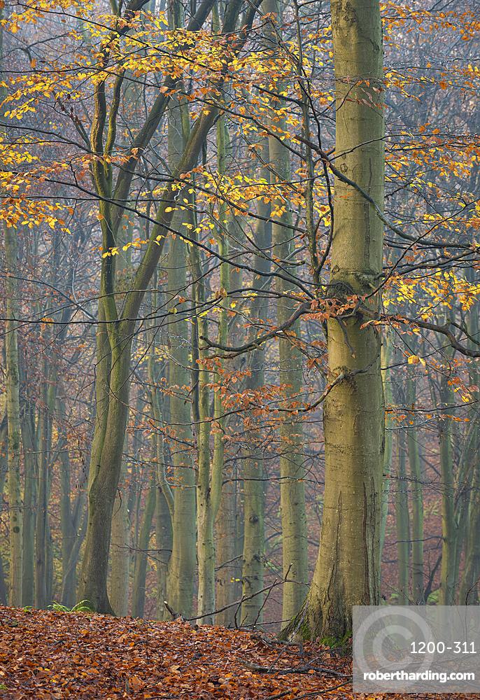 Common beech (Fagus sylvatica) trees, autumn colour, King's Wood, Challock, Kent, England.